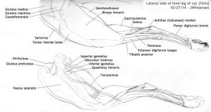 Anatomyscans_catlegCorrected