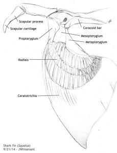 Anatomyscans_sharkfinCorrected