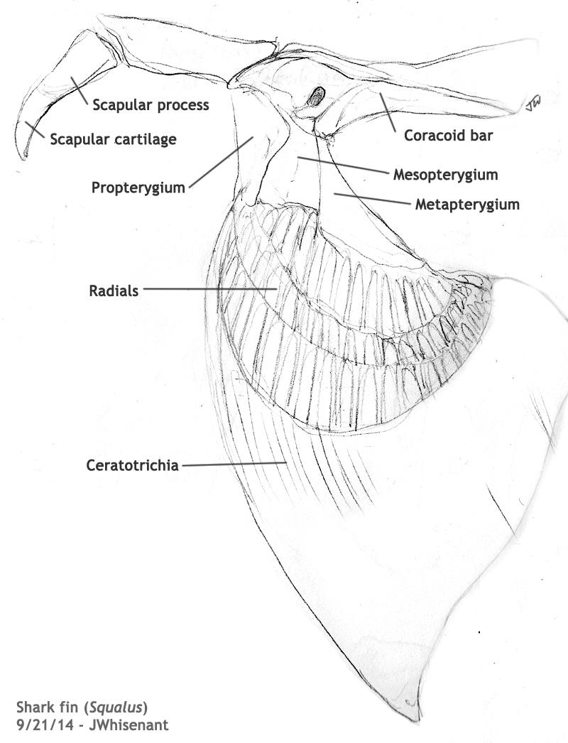 Exhibit B: Vertebrate Anatomy - The Hippocrates Code